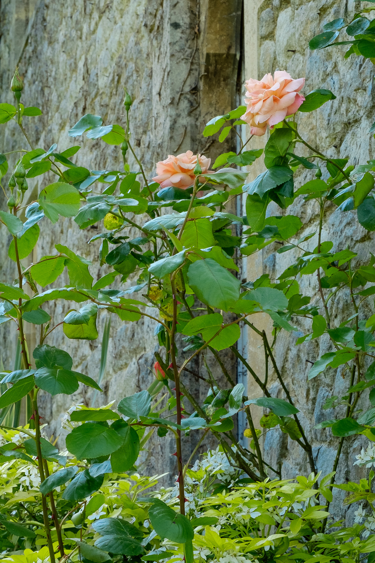 Roses at The Knowle Country House