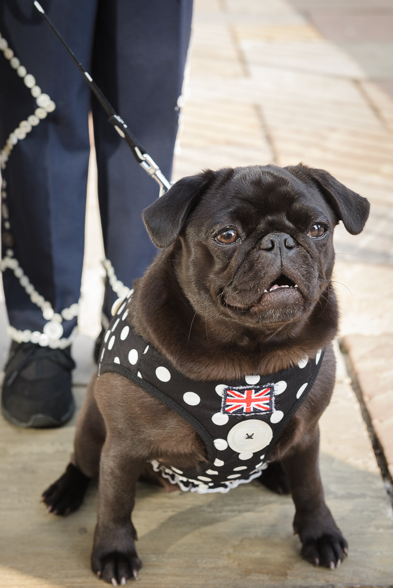 Pearly Pug Greenwich | Oakhouse Photography